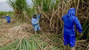 Les travailleurs saisonniers peuvent être employés à la récolte de la canne à sucre comme ici, dans une ferme de Piracicaba, au Brésil. Paulo Fridman/Bloomberg/Getty