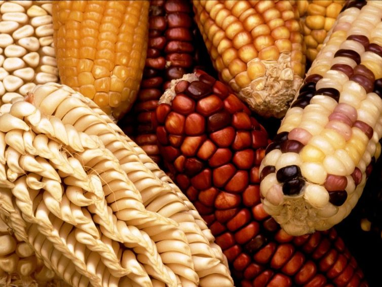 Précurseur en Amérique latine, le Mexique bannit le maïs génétiquement modifié et le glyphosate (Le Monde / AFP)